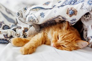 Cute ginger cat sleeps under blanket