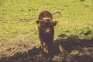 Highland Cattle - Hairy Cow