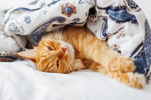 Cute ginfer cat sleeps under blanket