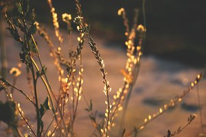 Weeds in warm backlight