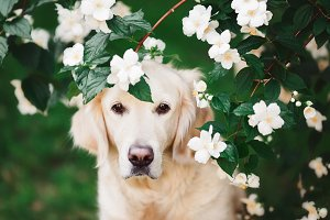Golden Retriever in Jasmine Flowers