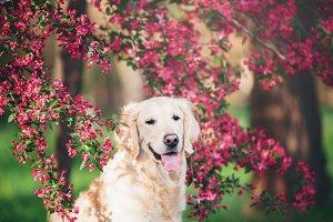 Golden Retriever in Pink Flowers