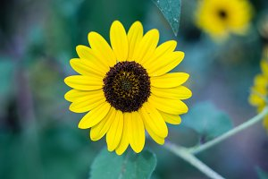 Sunflower with Leafy Background