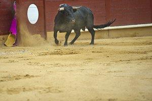 Bull in the arena.