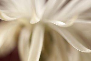 Flowering cactus Echinopsis