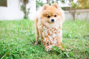 Dog pomeranian wearing a scarf lawn.