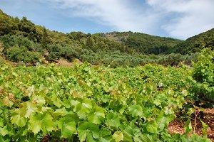 Vineyard Plantation Grapevine