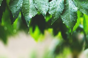 Leaves with rain