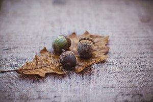 Three acorns on oak leaf