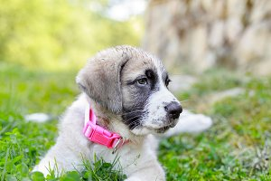 Mastiff puppy on green grass