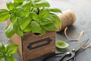 Fresh green basil in a box