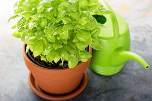 Fresh green basil in a pot