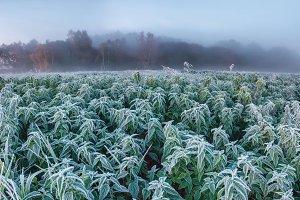 Frozen hemp