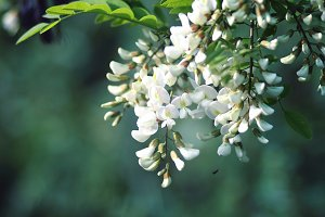 Robinia flowers.