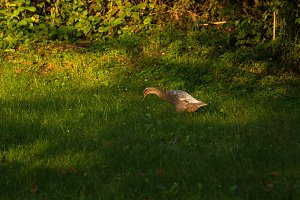 Ducks on the meadow eating