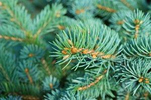 Fir Tree Branch