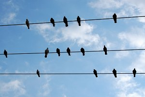 Pigeon Birds Resting