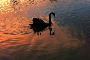 Black Swan at Sunset