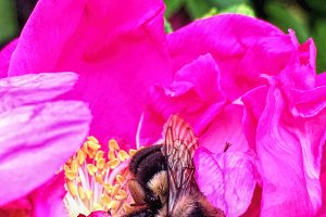 Busy Bumble Bee 1 with Rose