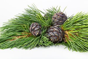 Cedar cones on a branch