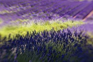 Lavender Fields and Shadows