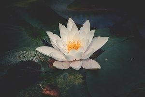 Waterlilly in a garden pond