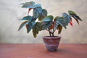 begonia small pot