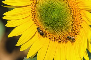 Bee pollinating sunflower