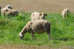 Sheeps grazing