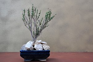 thyme bonsai