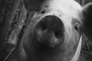 Nosy Pig