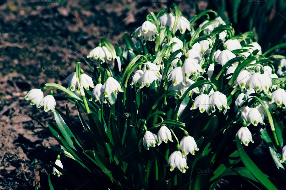 Snowdrops are the first spring flowers that bloom early spring snowdrops are the first spring flowers that bloom early spring nature mightylinksfo