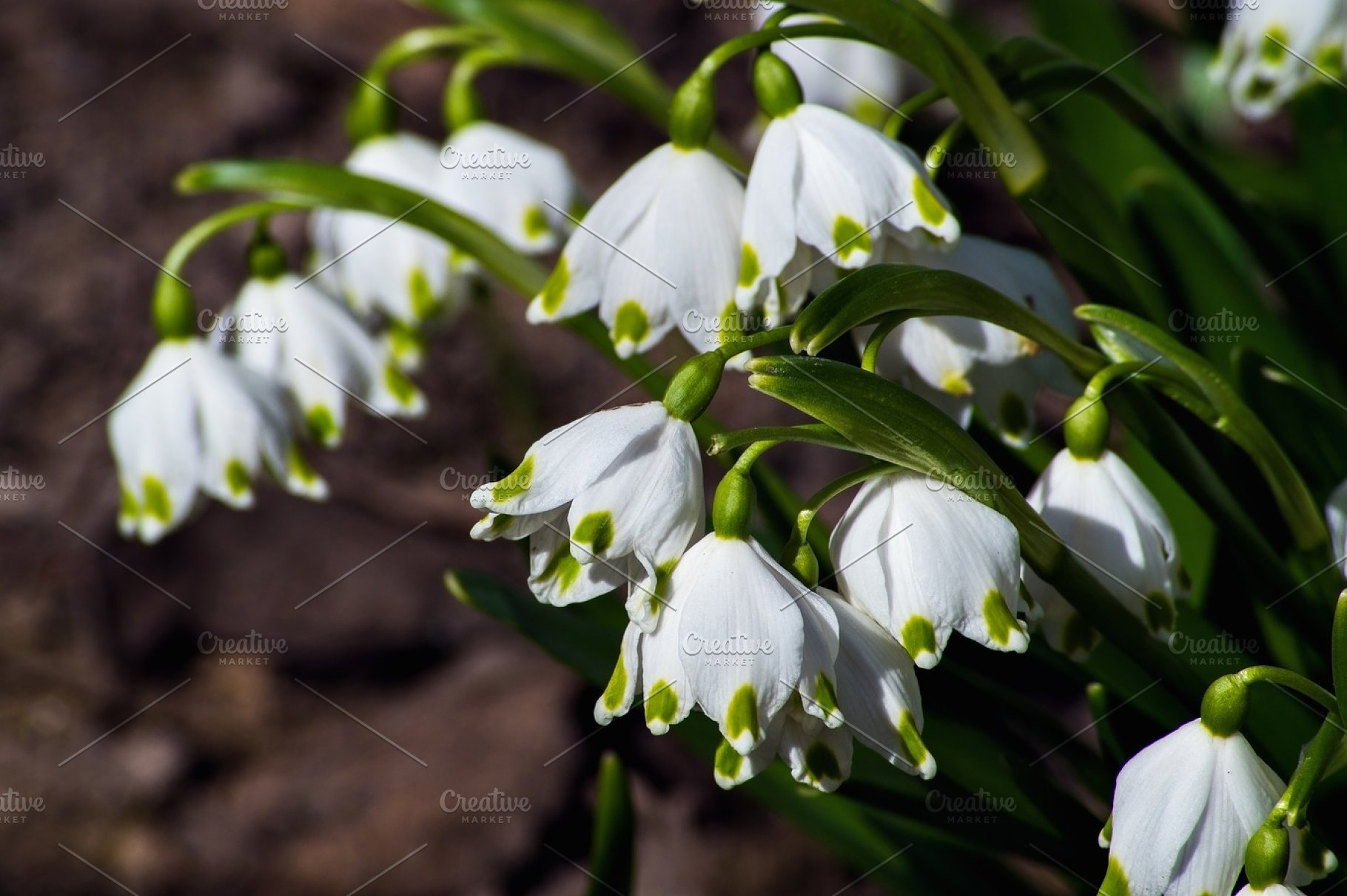 Snowdrops Are The First Spring Flowers That Bloom Early Spring
