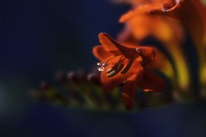 Backlit Crocosmia Flowers