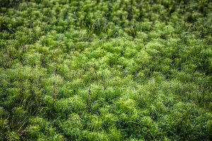 Fluffy green moss in Iceland