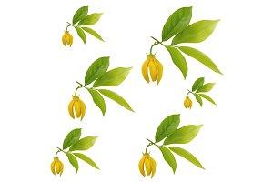 Pattern of Ylang-ylang flower
