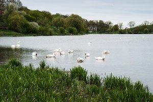 Staya white birds swans.