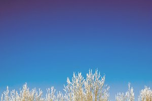 Snow capped trees on a blue sky