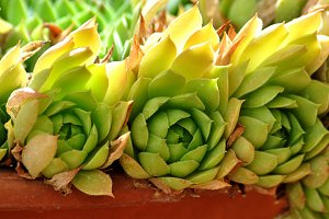 succulent in a clay pot