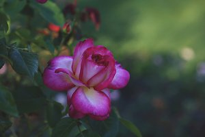 Rose Garden Bloom