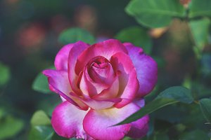 Rose Garden Bloom 2
