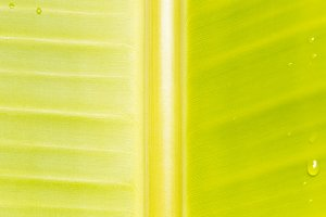 Background of banana tree