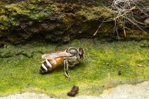 Macro small bee