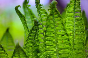 Leaves of a young fern green