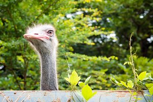 Ostrich is looking