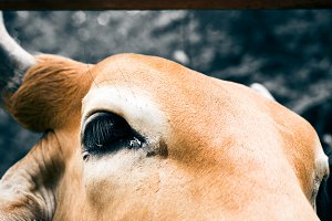 Face of cow