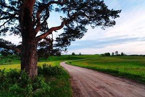 Pines near a rural road