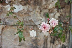 Rustic looking rose photo