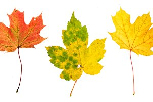 Autumn red green yellow maple leaf