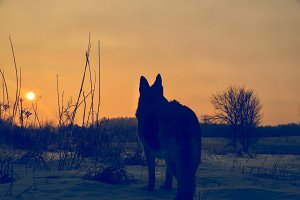 German Shepherd Silhouette Sunrise